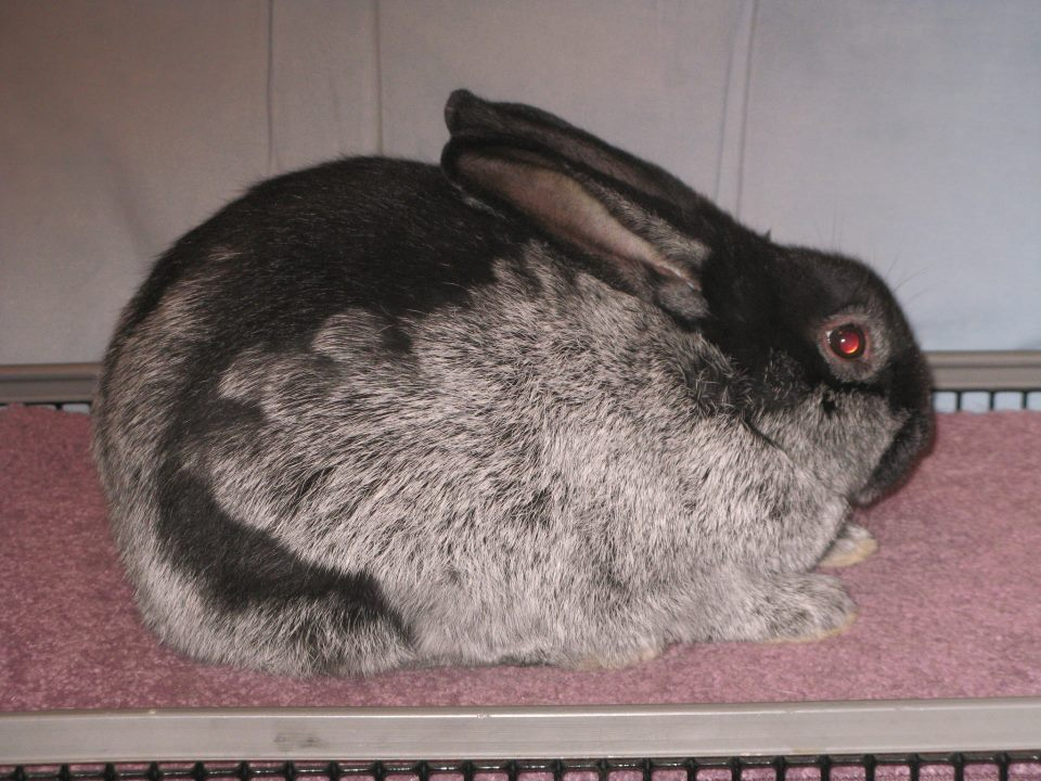 looks like rabbit holland lop looks like our